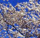 Cherry Blossom Festival 2008